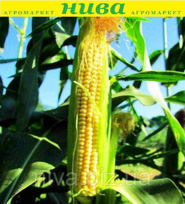 ЛС 779 F1 (LS 779 F1) насіння кукурудзи суперсолодкої Lucky Seed 500 насінин