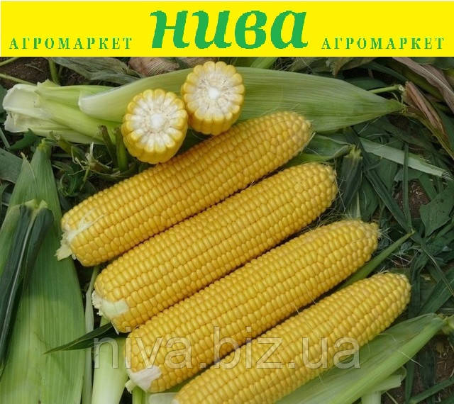 Рання Насолода F1 насіння кукурудзи суперсолодкої Lark Seeds 1 000 насінин