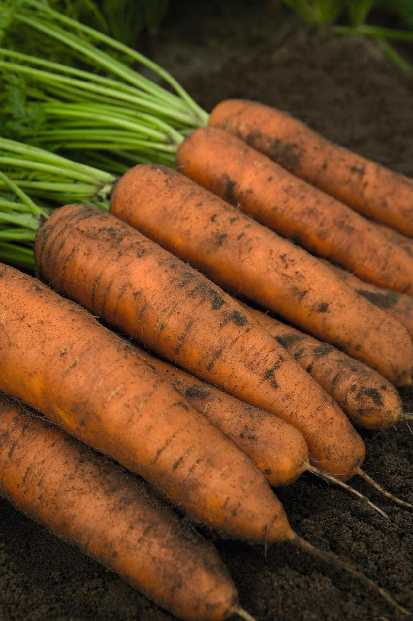 Белградо F1 - семена моркови, Bejo - 100 000 семян 1.6-1.8