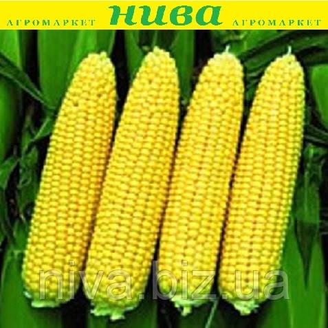 Сансвіт F1 насіння кукурудзи суперсолодкої Еrste Zaden 1 000 г