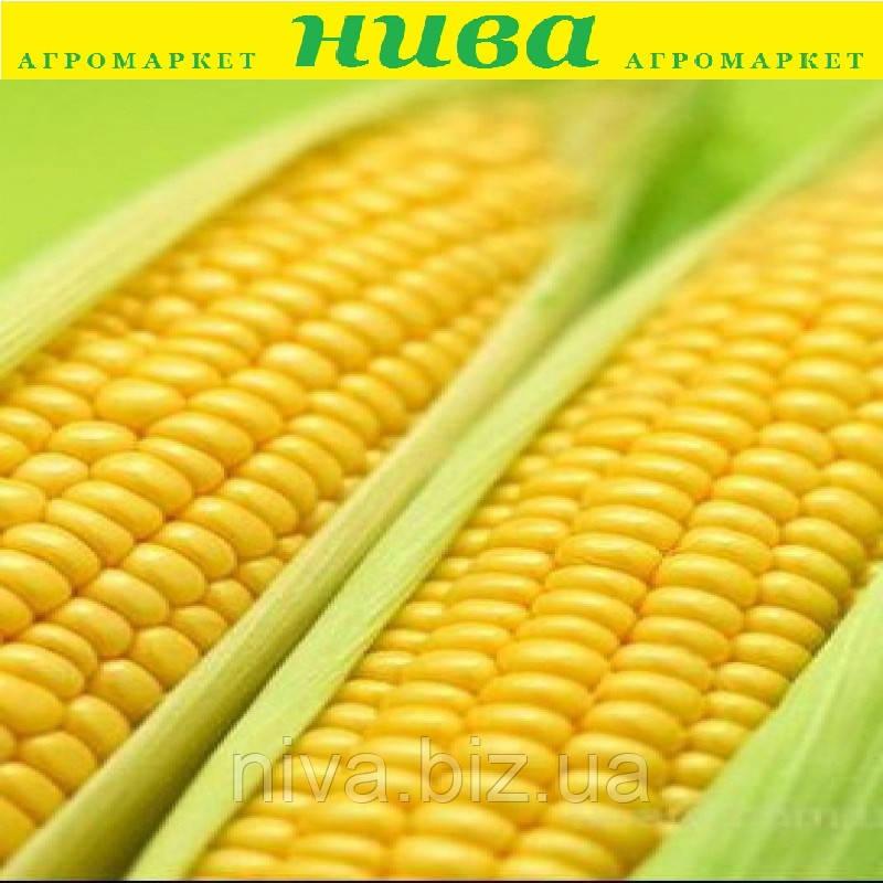 Тесті Голд F1 насіння кукурудзи суперсолодкої Agri Saaten 5 000 насінин