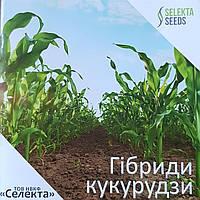 Семена кукурузы украинской селекции НПКФ «СЕЛЕКТА» это доступная цена - высокое качество!