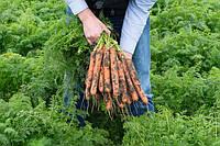 Нерак F1 - семена моркови, Bejo - 100 000 семян 1.6-1.8