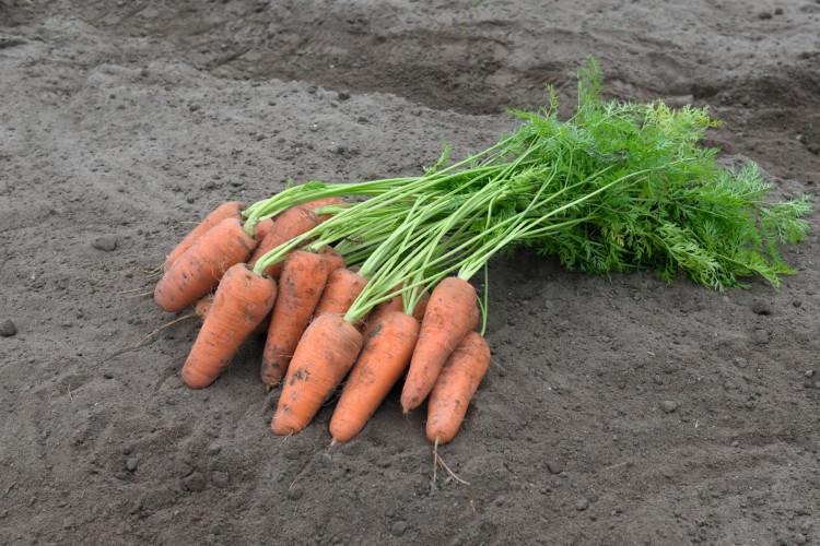 Курасао F1 - семена моркови, Bejo - 100 000 семян 2.0-2.2