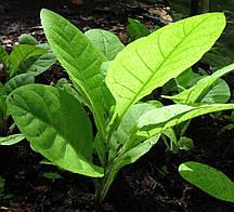 Семена Табака курительного Махорка 1 гр