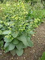 Семена Табака курительного Махорка 50 гр