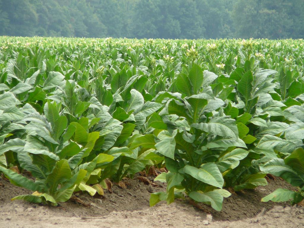 Семена Табака курительного Махорка 5 гр ТМ Агролиния