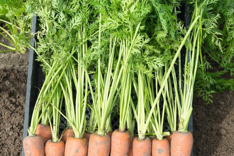 Канада F1 - семена моркови, Bejo - 25 000 семян 1.8-2.0