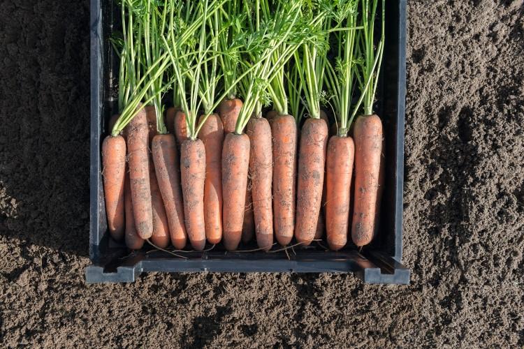 Навал F1 - семена моркови, Bejo - 100 000 семян 1.6-1.8
