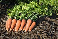 Купар F1 - семена моркови, Bejo - 100 000 семян 2.0-2.2