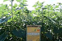 Семена подсолнечника Пикардия (стойкий до Евро-лайтингу)