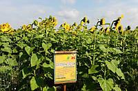 Семена подсолнечника  Ново-Алье (стойкий до Евро-лайтингу)