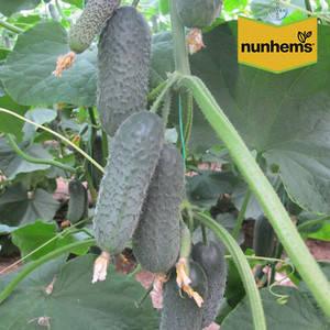 ДИРЕКТОР F1 / DIRECTOR F1, 10 семян — огурец партенокарпический, Nunhems, фото 2