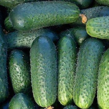 ПРЕСТО F1 / PRESTO F1, 10 семян — огурец партенокарпический, Rijk Zwaan. Садыба Центр
