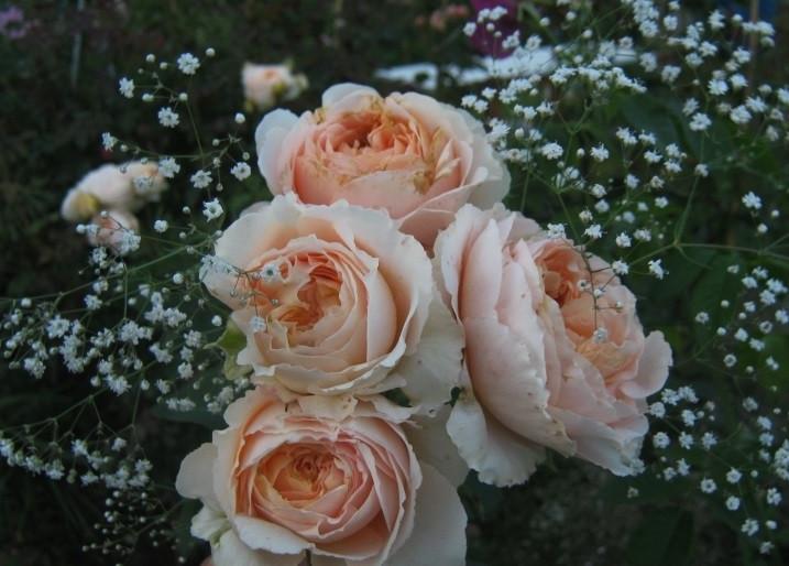 Роза Дени Хан (Dany Hahn) Шраб