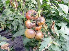 Что делать, если чернеют помидоры в теплице?
