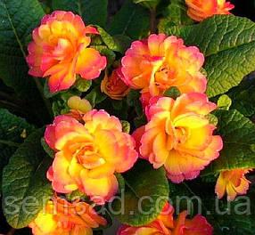 Примула балерина  махровая Нектарин \  Primula 'Belarina Nectarine' ( садовая- саженцы)