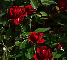 Роза Джаз - Найхеглют (Jazz) Плетистая, фото 2