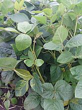 Соя під раундап ГРІМО, Сорт ГРИММО під гліфосат 95-100 днів ГРИММО. Урожайна рання соя під гербіцид ГРІМО.