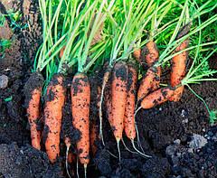 Советы специалистов: как поливать морковь для высокого урожая