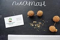 Платан клёнолистный семена (10 шт) для саженцев, чинар насіння + инструкция + подарок