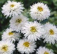 Семена Ромашка многолетняя махровая (Нивяник) Крейзи Дейзи 300 семян Benary