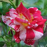 Саженцы роз Твист, плетистая роза