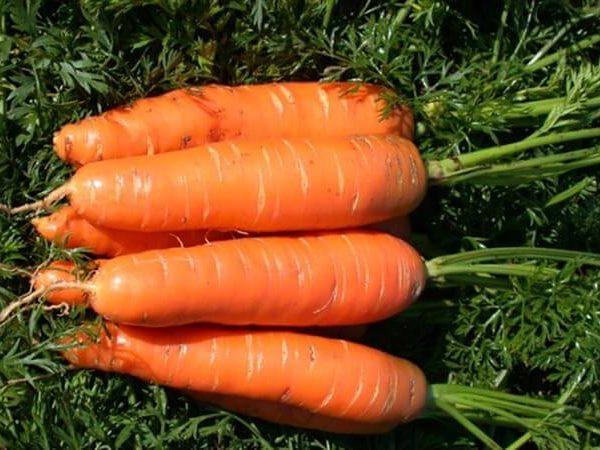 Морковь поздняя Красная Боярыня, Satimex (Германия), фермерская фасовка банка 500 грамм