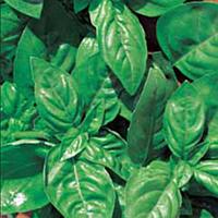 Базилик зеленый, опт 20 пакетов