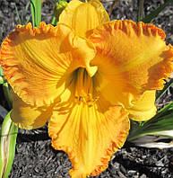 Лилейник Orange Nassau Оранж Нассау (heemskerk 2011) (саженцы)