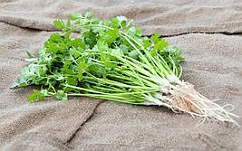Семена кориандра Карибе, Bejo 500 грамм | профессиональные