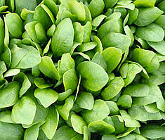Шпинат гибридный сорт Спирос F1 Для выращивания круглый год, для вакуумной упаковки, семена Bejo 50 000 семян