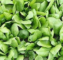 Универсальный гибрид шпишата для весеннего и осеннего выращивания, Семена Рембрандт F1, Bejo 50 000 семян