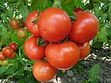 Насіння томату Ронда F1 (100 сем.) Ergon, фото 2