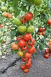 Насіння томату Ронда F1 (100 сем.) Ergon, фото 3