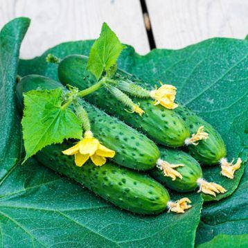 СПИННО F1 / SPINNO F1, 10 семян — огурец партенокарпический, Syngenta, фото 2