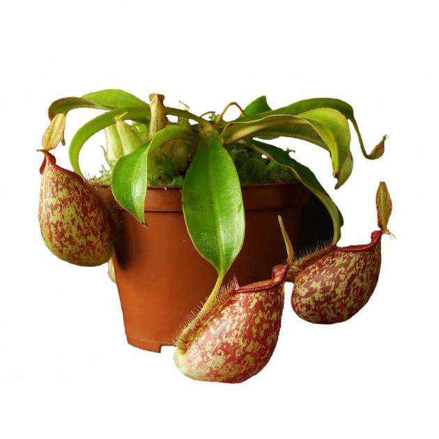 "Растение хищник Непентес Хукериана AlienPlants Nepenthes ""Hookeriana"" (SUN006CP)"