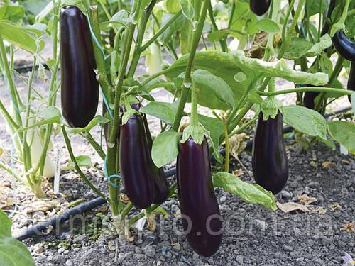Семена Баклажана Честер F1 \ Chester F1 100 семян Ergon seeds