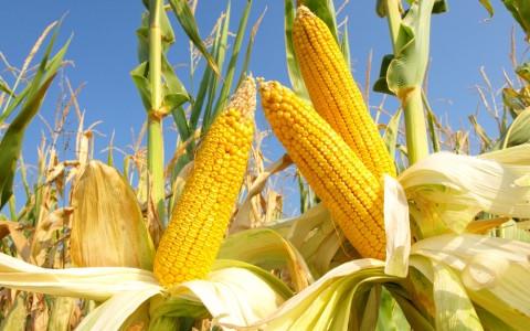 Гибрид кукурузы РАМ 8143