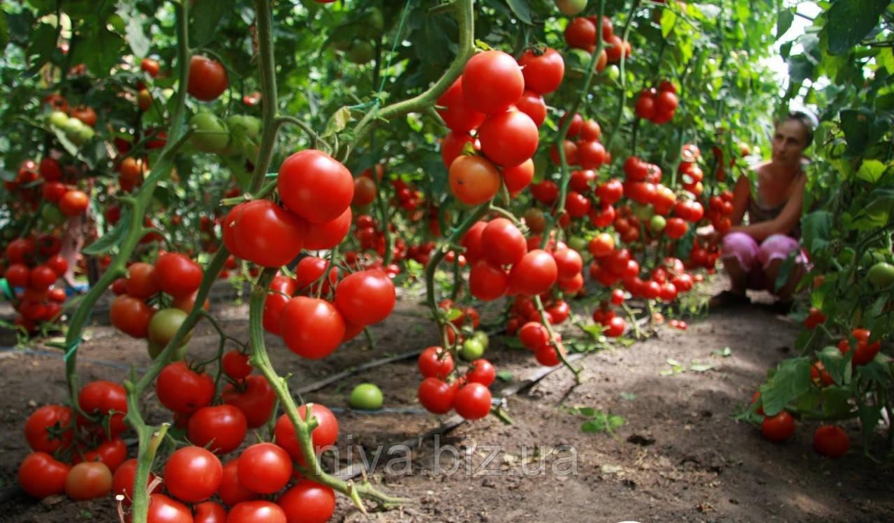 Хитомакс F1 семена томата индет. Kitano Seeds 100 семян