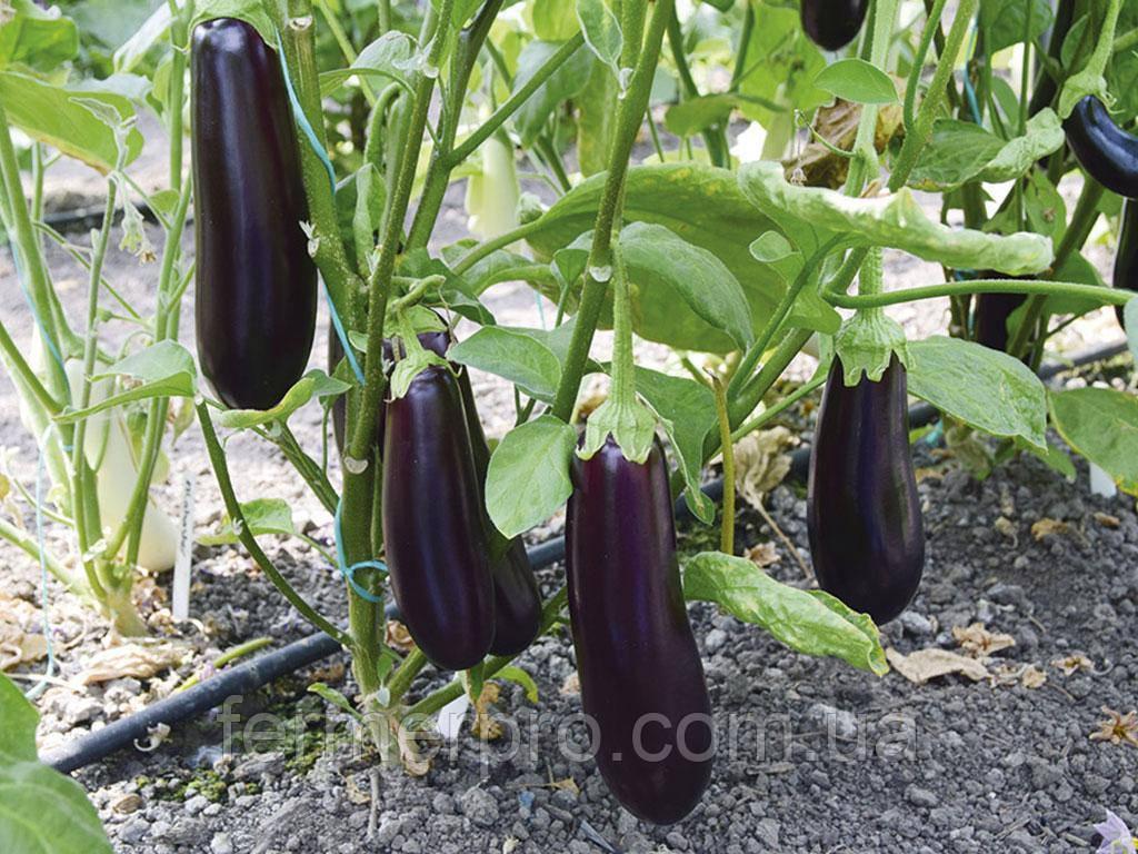 Семена Баклажана Честер F1 \ Chester F1 500 семян Ergon seeds