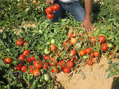 Семена томата Дуал лардж F1 \ Dual Large F1 100 семян Ergon seed