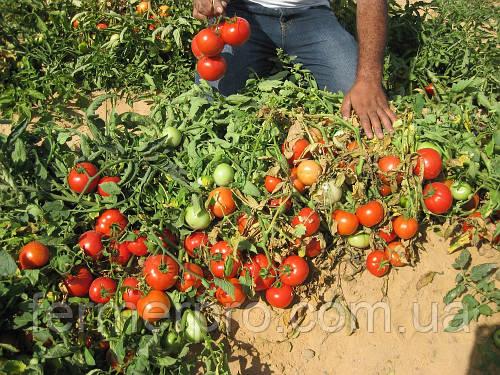 Семена томата Дуал лардж F1 \ Dual Large F1 500 семян Ergon seed