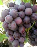 Виноград Джони (саженец привитой)