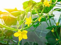 Что предпринять, когда появился пустоцвет на огурцах в теплице?