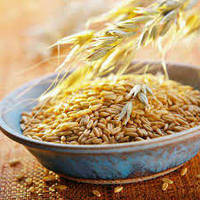 Ячмень органический для проращивания, от 5 кг, схожесть 96%.