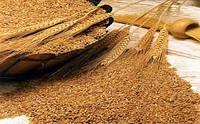 Пшеница органическая для проращивания от 5 кг кг