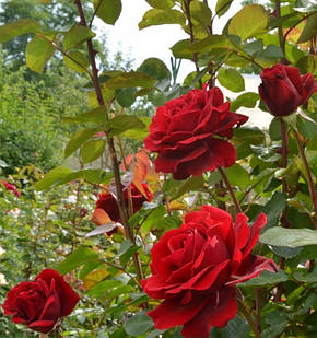 Роза Грандесса (Мессир Дэльбар)/(Grandessa/Messire Delbard) Шраб, фото 2