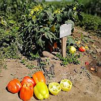 Семена перца Кларетти 5 грам Solare Sementi