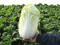 Семена пекинской капусты Маноко F1, Bejo 10 000 семян | профессиональные, фото 1